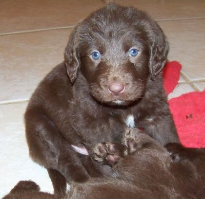 Sold Sasha X Snickers 1st Generation Labradoodle Puppies Orange