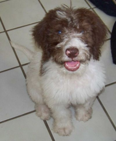 Sold Moxy F1b Chocolate And White Parti Labradoodle Female